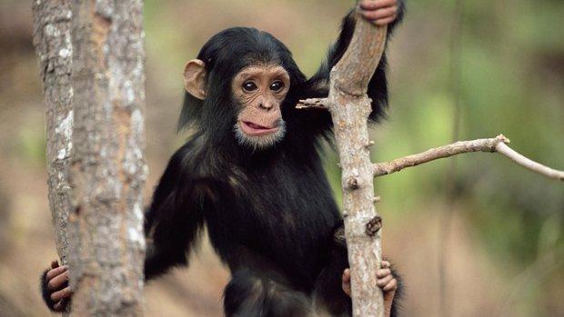 Почему сейчас обезьяны не превращаются в человека?