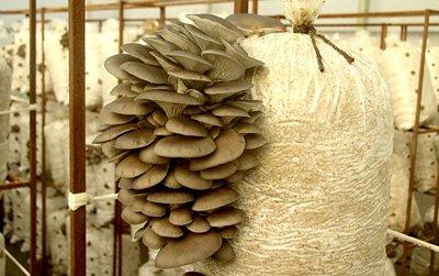 Как правильно выращивать грибы-вешенки в домашних условиях