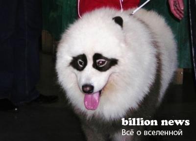 Китайцы демонстрируют тюнинг собак (17 фото)