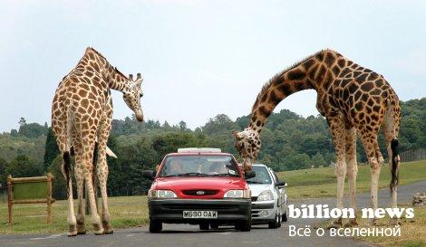 10 фактов о жирафах
