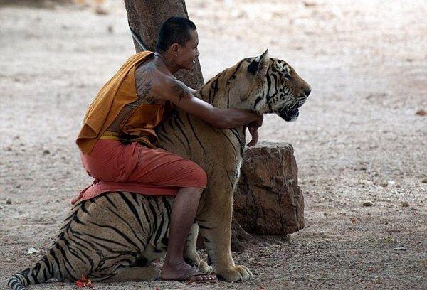 Дружба  таиландских монахов с тиграми (4 фото)