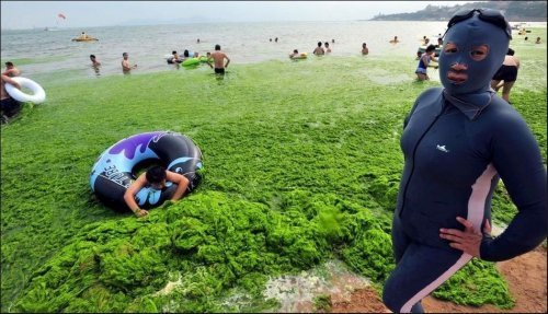 Водоросли атакуют пляж в Циндао (8 фото)