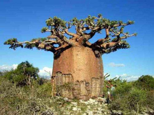 Самые фантастичные деревья мира (11 фото)
