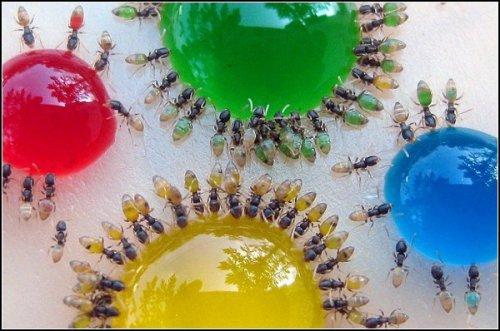 Как раскрасить муравьев (2 фото)