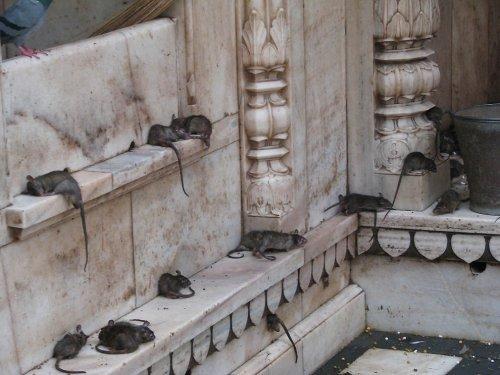 Священные крысы Карни Мата (23 фото)