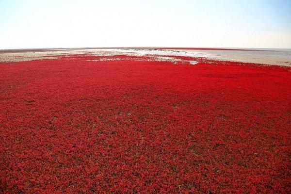 Красный пляж в Китае (6 фото)