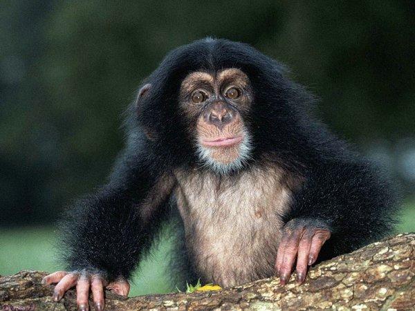 Власти Пакистана арестовали обезьяну, перешедшую границу со стороны Индии