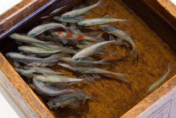 Трехмерные золотые рыбки от Риусуки Фукахори (Riusuke Fukahori) (7 фото)