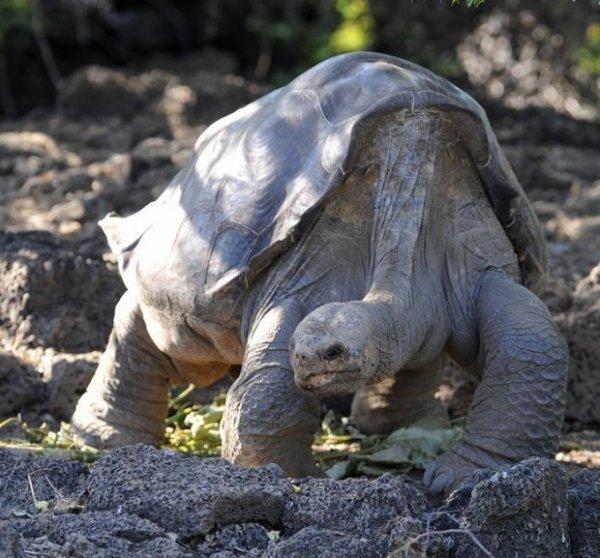 Умерла последняя гигантская галапагосская черепаха на планете (4 фото + видео)