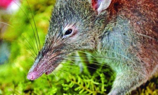 Беззубая крыса — единственный в мире грызун, неспособный грызть
