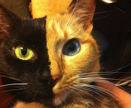 Кошка Венера является химерой (5 фото)