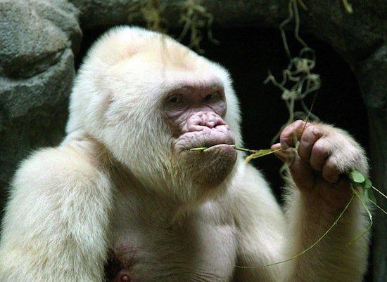 Снежок — единственная известная науке горилла-альбинос (2 фото + видео)