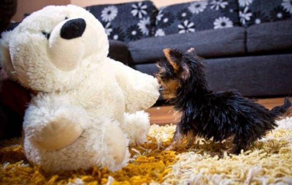 Самая маленькая собака в мире (9 фото + видео)