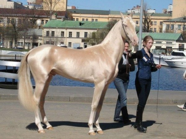 Кремовая лошадь (4 фото)