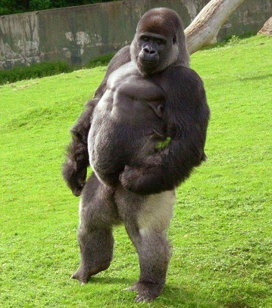 Прямоходящая горилла по кличке Амбам (5 фото + видео)