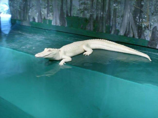Аллигатор альбинос из парка живой природы Gatorland (6 фото)