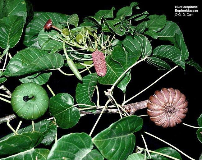 Существует дерево, которое «стреляет» семенами со скоростью 70 м/с