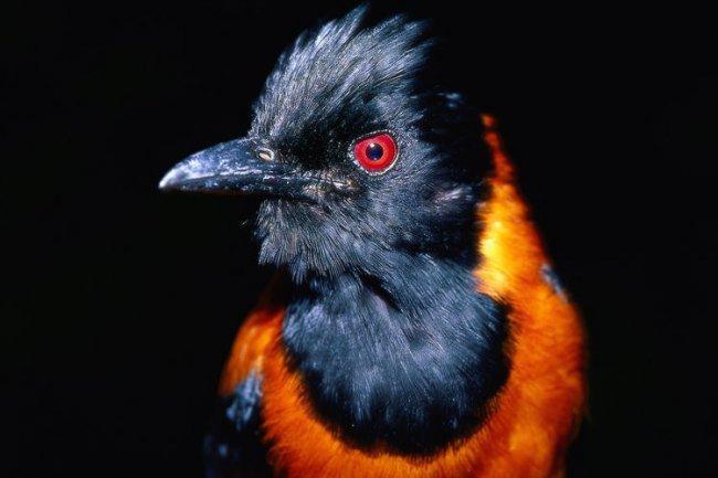 Ядовитая птица - питаху (2 фото)