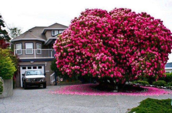 Уникальное дерево Рододендрон Синтия (3 фото)