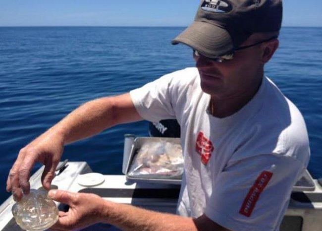 Salpa Maggiore - прозрачная рыба (3 фото)