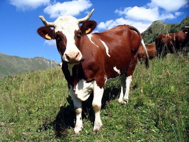 Мычат ли коровы с акцентом?