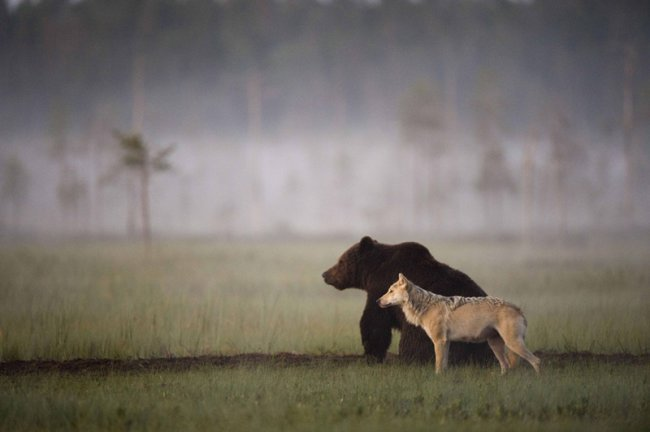 Фото дня 15.04.2014 - Дружба волка с медведем