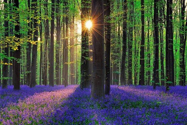 Черничный лес в Бельгии (10 фото)