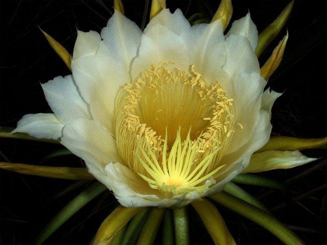Царица ночи - кактус, который цветет 1 раз в год (4 фото)