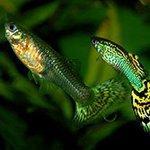 Стартовый корм для мальков: чем кормить аквариумных мальков?