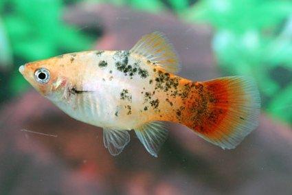 Аквариумные рыбки пецилии - украшение любого дома