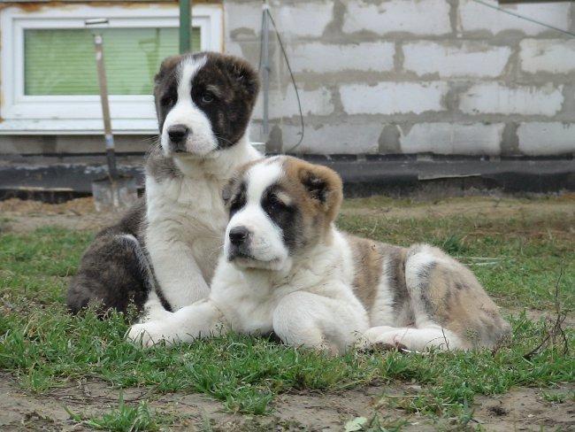 Порода собак алабай (среднеазиатская овчарка)