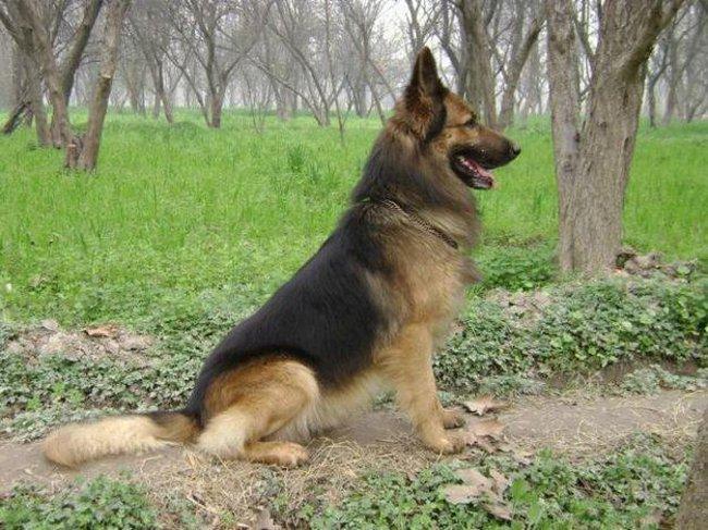 Породы собак: восточноевропейская овчарка