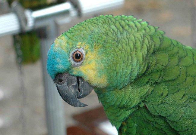 Попугаи амазоны: содержание, уход, кормление