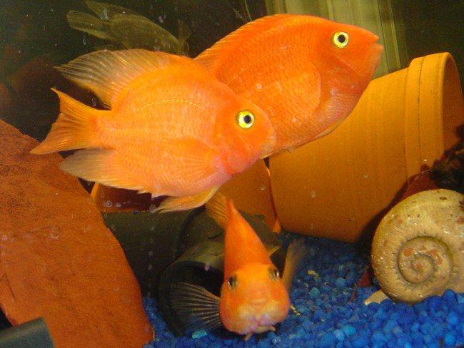 Красный попугай в вашем аквариуме