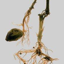 Болезни комнатных растений: грибковые заболевания. Часть 2