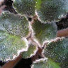 Болезни комнатных растений: грибковые заболевания. Часть 1