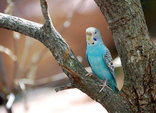Как определить пол волнистого попугая?