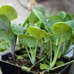Рассада капусты: секреты выращивания