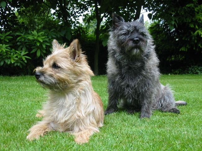 Породы собак: керн терьер
