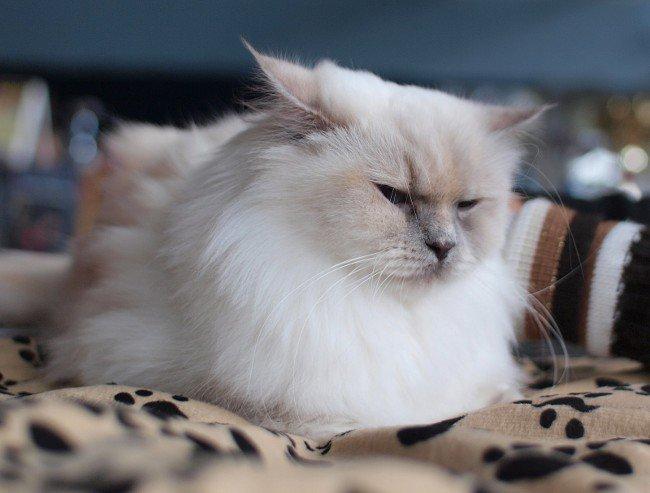Кошка линяет: что делать?