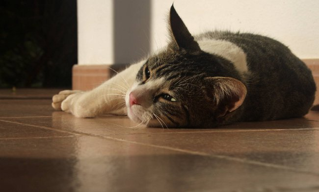 Рвота у кошки