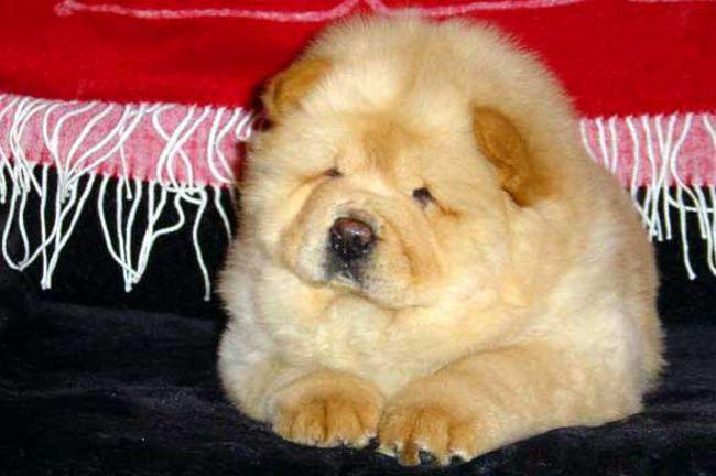 Собака чау-чау: особенности и уход