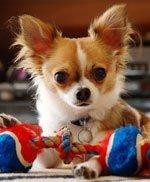 Породы собак: чихуахуа