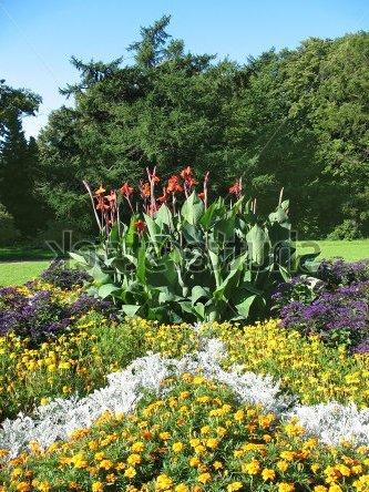 Цинерария серебристая: выращивание из семян, уход и использование в композициях