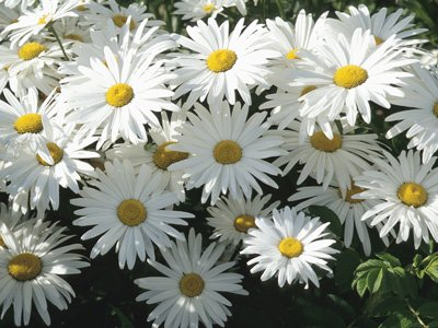 цветок как ромашка в фотографиях