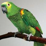 Понос у попугая