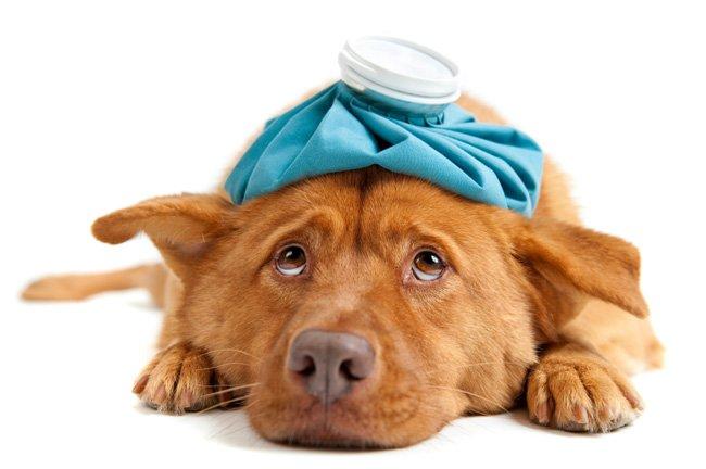 Лечение собак. Первая помощь