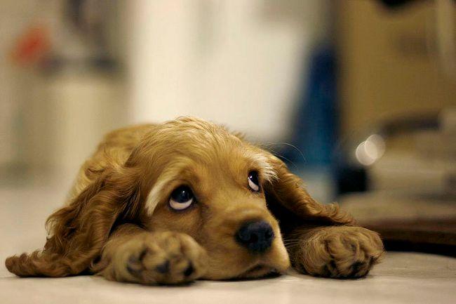 Собака скулит: что делать?