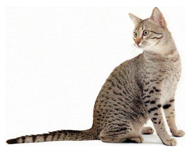 Породы кошек: египетская мау
