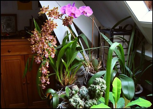 Фаленопсис: цветение